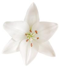 Lys Blanc , Fond Blanc