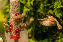 Bird Flying To Bird Feeder With Wings Spread