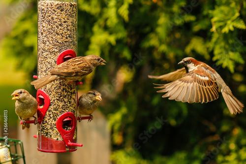 Valokuvatapetti Bird flying to bird feeder with wings spread
