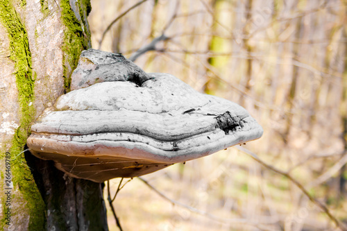 Fényképezés  Fomes fomentarius (commonly known as the tinder fungus) on live tree