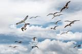 Mewa w locie w chmurach - 266474366