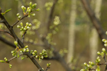 The Branch Of The Apple Tree O...