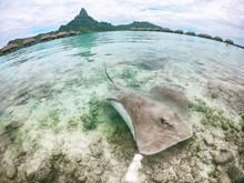 Stingray Swimming In Ocean Water At Bora Bora Hotel Near Shore. Fun Tourist Activity At Bora Bora Hotel In, Tahiti, French Polynesia Travel Vacation Holiday. Two Stingrays At The Beach.