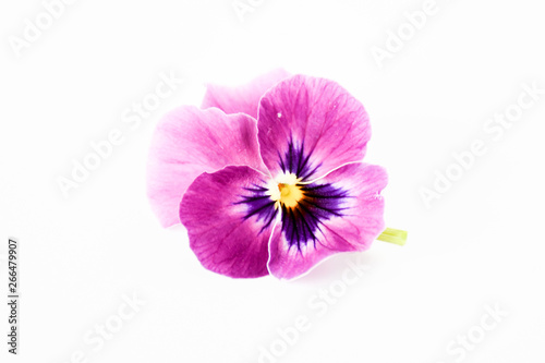 Papiers peints Pansies Beautiful petal pansy violet flower in tricolor, white, yellow and violet or purple on White background.