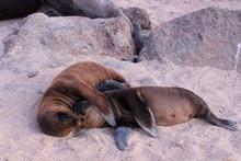 Galapagos Seelöwen Baby Sonnen Sich Am Ufer Des Ozeans