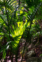 Close-up Of A Single Palm Tree Branch Illuminated By Sunlight In A Dark And Dense Subtropical Rainforest. Photo Taken In Erskine Valley Near Mount Gower On Lord Howe Island, New South Wales, Australia