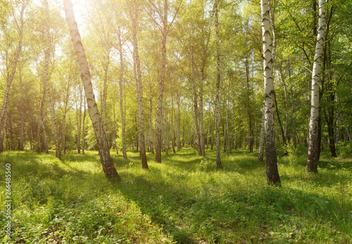 Fresh green nature panorama view of birch park with green grass and sunny weather