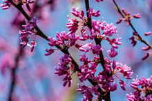 Close-up Beginning Blossom Of Purple Eastern Redbud, Or Eastern Redbud Cercis Canadensis In Sunny Spring Garden. Purple Inflorescences Against Clean Blue Sky. Selective Focus
