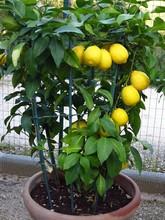 Jar With Lemon Plant. Lemon Pl...