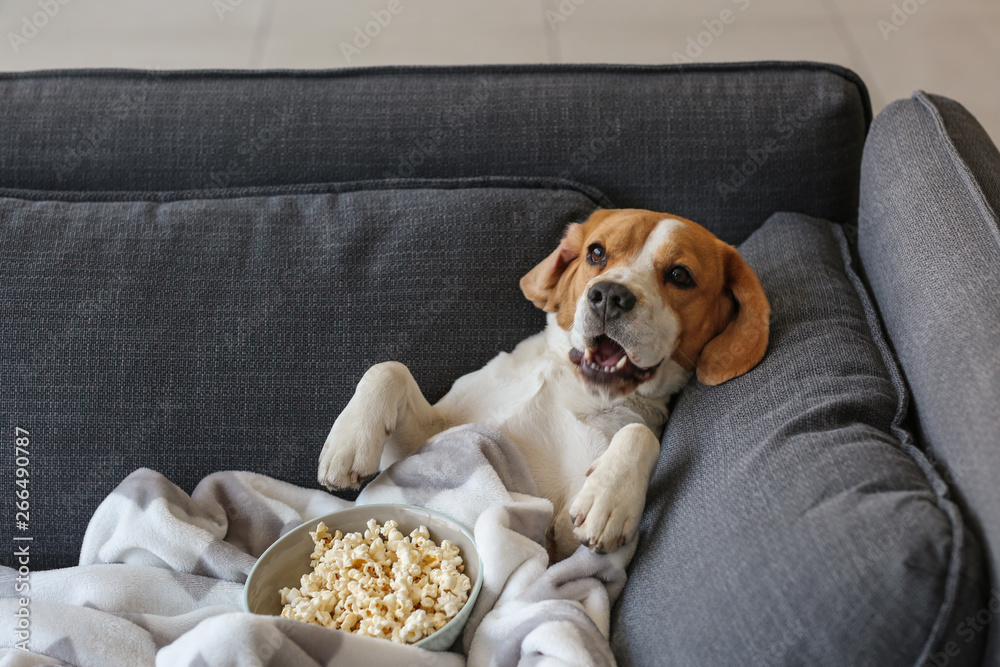 Fototapeta Cute funny dog with tasty popcorn lying on sofa at home