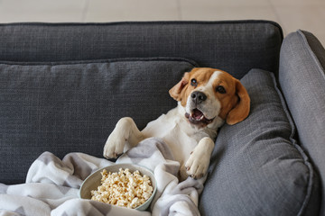 Fototapeta Pies Cute funny dog with tasty popcorn lying on sofa at home