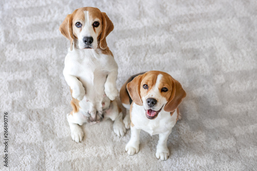 Obraz Cute funny dogs on carpet at home - fototapety do salonu