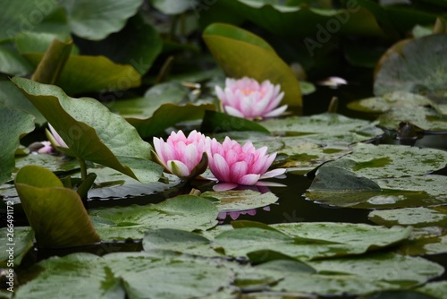 Poster de jardin Nénuphars Water lilies blooming in the pond.