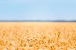 Ears of wheat golden field background.