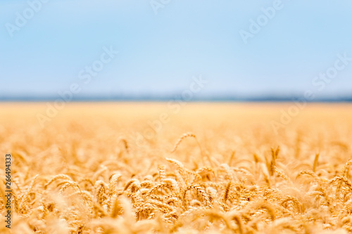 Canvas Prints Culture Ears of wheat golden field background.