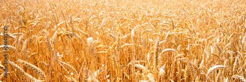 Valokuvatapetti summer landscape with field of corn under blue sky
