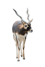 Antelope ( Antilope Cervicapra) Isolated