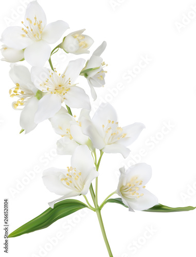 Fototapeta illustration with white isolated jasmine branch in bloom