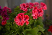 Pelargonium Flowers Closeup. Garden Pelargonium Or Pelargonium Zonale.