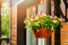 Pot With Colorful Pansy Flowers Hanging On House Exterior Wall