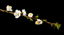 Apricot Flowers Isolated On Black Background Close Up.
