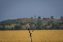 A Habitat Image Of Common Kest...