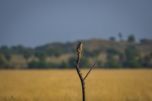 A Habitat Image Of Common Kestrel Or Falco Tinnunculus Sitting On A Beautiful Perch With A Green Background And Blue Sky At Tal Chappar Blackbuck Sanctuary, India