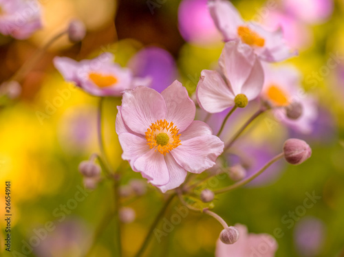Fotografie, Obraz  Pastel color outdoor floral image of a blooming autumn anemone blossom with buds