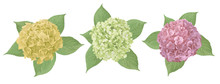 Yellow, Green, Pink Flower Of Hydrangea, Mophead, Lacecap, Panicle. Seasonal Plants, Leaf And Herbs Big Vector Collection.All Elements Are Isolated
