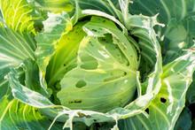 Caterpillars Eat Cabbage Leave...