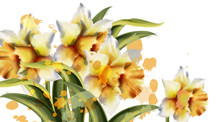 Daffodil Flowers Vector Waterc...