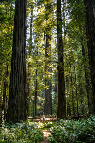 Big green tree forest trail at Redwoods national park spring