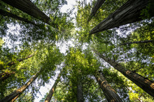 Big Green Tree Forest Look Up View At Redwoods National Park Spring