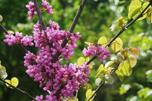 Blossom Of Purple Eastern Redbud. Butterfly On Flowering Cercis. Flowering Branch Of The Judas-tree