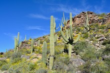 Saguaro Cactus Brittlebush Mou...