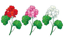 Set With Outline Geranium Or Cranesbills Flower Bunch And Ornate Leaf In Red, Pink And Pastel White Isolated On White Background.