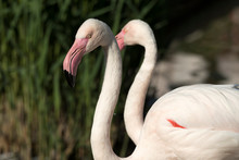 Flamingo Resting On A Paw On T...