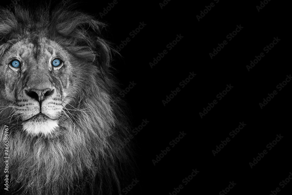 Fototapeta Portrait of a beautiful lion and copy space. Lion in dark