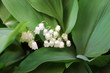 Convallaria majalis common Lily of the valley in blossom with beautiful white bell flowers
