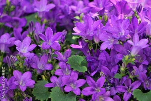 Closeup purple flowers of Dalmatian bellflower or Adria bellflower or Wall bellflower (Campanula portenschlagiana) background texture, Spring in Georgia USA Canvas Print
