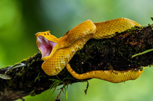 Eyelash Viper - Bothriechis Schlegelii, Beautiful Colored Venomous Pit Viper From Central America Forests, Costa Rica