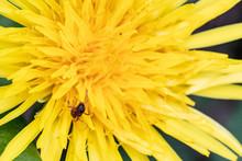 Fiore Giallo Con Una Formica