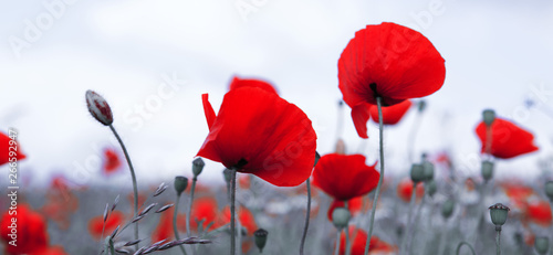 Canvas Prints Poppy Red poppies isolated on a blurred gray background.