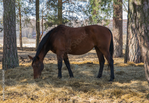 One bay horse is grazing on the edge of the forest. Canvas-taulu