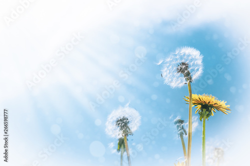Summer background of dandelions against the sky on a bright sunny day with copy space