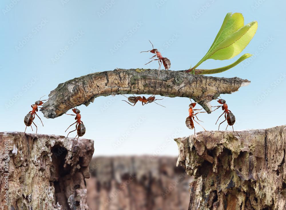 Fototapeta ants building a bridge