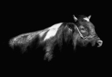 Bull On A Black Background