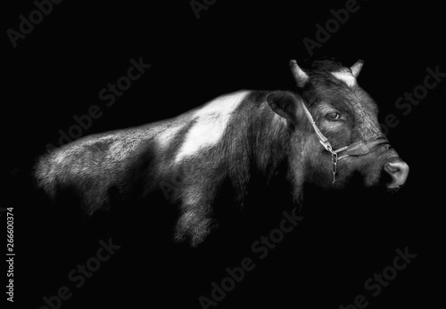 Photo bull on a black background