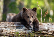 Wild Brown Bear Cub Close-up. Brown Bear Cub Baby Sitting On Belly On Fallen Spruce Tree Looking At Camera With Green Forest Background.