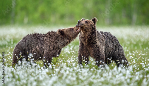 Fényképezés  The Cubs of Brown bears playfully fighting, among white flowers